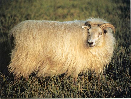 all-natural sheep wool carpets